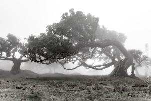 Vereda do Fanal - Bosque centenario