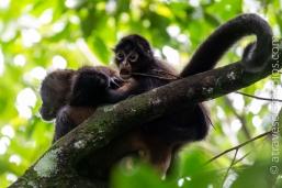 Madre y cria monos araña - Isla Barro Colorado