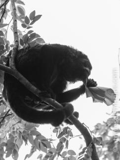 Mono aullador - Gamboa, Pipe Line