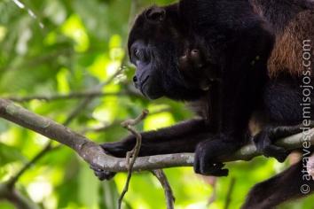 Mono aullador - Isla Barro Colorado