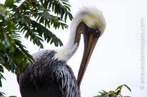 Pelicano - Isla Bastimentos