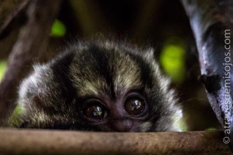 Cria de mono musmuqui - Isla Bastimentos - Salt Creek