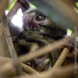 Madre y cria de monos musmuqui - Isla Bastimentos - Salt Creek